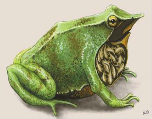 darwins-frog.jpg#asset:308