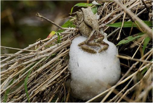 foam-nest-frog.jpg#asset:309